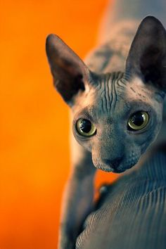 love hairless kitties!