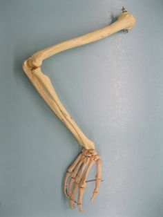 http://fc04.deviantart.net/fs71/i/2012/085/e/3/skeletal_arm_3_by_mistedmadame-d4u0oi2.jpg
