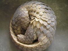 Pangolin (hiding), great scales, nearly white