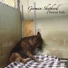 German Shepherd Rescue Indy Relocation Project - After working for 14 months to create a safe place for all the   rescued German Shepherds from kill-shelters, the landlord has decided   to rezone the rescue property to a convenience store location. The   rescue desperately needs to find a new home! ...