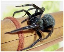 Black House Spider | This spider is velvety black in colour and will be found living and breeding in window frames, in the brickwork, in the toilet and under eaves. But they will also live under rocks & barks of trees..We offer all areas of domestic/residential and commercial pest control and to see exactly what they are, have a look under the services tab situated above. Alternatively you can talk to one of our friendly team members by calling us on 1800 244 778.