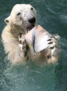 A Polar Bear at the Everland amusement park zoo bites into a chunk of ice with fish and fruits inside to help cool off from sweltering heat, south of Seoul. Save Our Earth, Save The Planet, All Gods Creatures, Sea Creatures, Theme Tattoo, Save Our Oceans, 4 Oceans, Ocean Pollution, Plastic Pollution