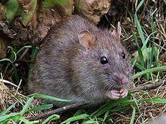 potkan obecný - hlodavec rodu Rattus často zaměňovaný s krysou obecnou