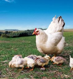 Check out this article from GRIT Magazine about heritage breeds!  ----Heritage Breeds Can Be the Best Egg Laying Chickens. Rare domesticated animals need engaged stewards to survive. Raise heritage chickens and you'll find some of the best egg laying chickens around.