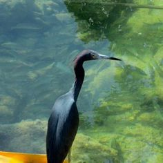 great shot of a Little Blue Heron at Boca Chica Air Station