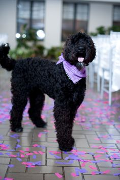 A Noble Vestal Labradoodle featured in a locally inspired wedding by Christina & Jose on Borrowed & Blue. Basenji Dogs, Goldendoodles, Black Labradoodle, Labradoodle Puppies, Doodle Baby, Black Russian Terrier, Shepherd Mix Dog, Australian Shepherd Dogs, Dog Mixes