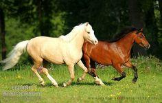 Welsh Pony of Cob Type (section C) mare Hope Ingaberg (bay)