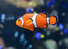 Clown Fish by Joe Klamaar