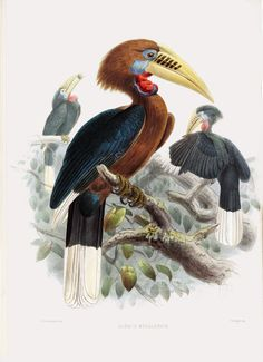 Rufous Hornbill Buceros hydrocorax