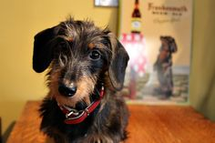 The Long and Short of it All: A Dachshund Dog News Magazine: Wirehair Wednesday: From Rowdy With Love