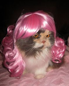 Wigs dont shed, so this must be the cat for me.,