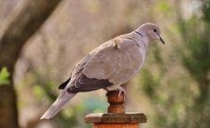 Garden, Collared Bird Plumage Dove Nature Animal A #garden, #collared, #bird, #plumage, #dove, #nature, #animal, #a
