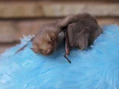 Baby bat is tired...