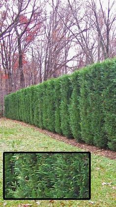 Leyland Cypress or Thuja Green Giant evergreens to create a privacy hedge. Nice catalog here