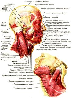 Поверхностные мышцы головы и шеи [1979 Курепина М М Воккен Г Г - Анатомия человека Атлас]
