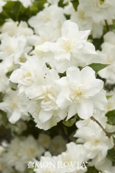 Mock Orange plant.  It has a wonderful orange blossom aroma!  I planted one in my yard!