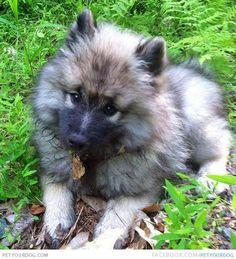 Peak Our calm Keeshond dog named Peak