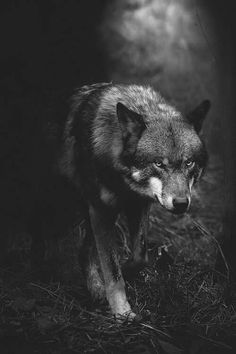 Is Wolf Your Spirit Animal? Wolf Love, Wolf Spirit, My Spirit Animal, Wolf Pictures, Animal Pictures, Animals Photos, Beautiful Creatures, Animals Beautiful, Tier Wolf