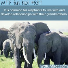 Elephants are amazing. I'd put a bullet right in the face of anyone trying to harm them. President's son or not.