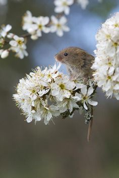 Harvest Mouse (Richard Bowler)