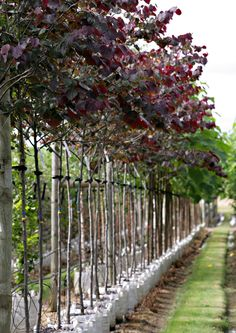 The Barcham tree nursery is situated in the heart of Cambridgeshire. Covering over 300 acres of land, it is by far the largest tree nursery of its type in Europe. Small Trees For Garden, Garden Trees, Buy Trees Online, Tree Specialist, Judas Tree, Eastern Redbud, Specimen Trees, Backyard Retreat, Tree Forest