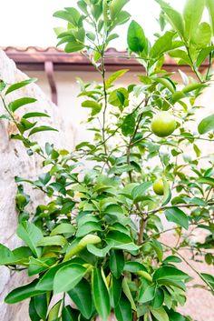 Meyer Lemon Trees in Courtyard Landscape Landscape Design, Garden Design, Meyer Lemon Tree, Citrus Garden, Courtyard Landscaping, How To Attract Hummingbirds, Beautiful Sites, Real Plants, Landscape Lighting