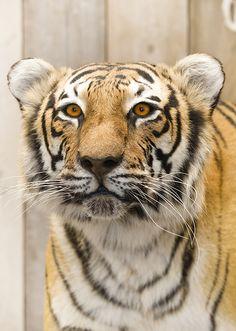 Bengaalse Tijger Animals, Art, Taxidermy, Bengal, Art Background, Animales, Animaux, Kunst, Animal