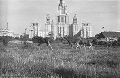 Лоси у МГУ, 1961 год