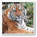 Amur (Siberian) Tiger - endangered