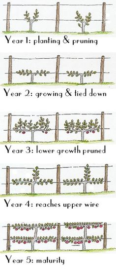 How to grow your grape vines onto an espalier - using a simple, straightforward infographic. It's simple!