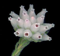 Erica maderi Unusual Flowers, Miniture Things, Succulents, Bloom, Paintings, Garden, Plants, Beautiful, Garten
