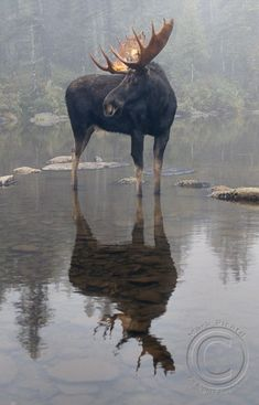 A moose in a lake. # A moose in a lake. # A moose in a lake. # A moose in a lake. # A moose in a lake. # A moose in a lake. # A moose in a lake. # A moose in a lake. # A moose in a lake. Nature Animals, Animals And Pets, Cute Animals, Wild Animals, Wildlife Photography, Animal Photography, Beautiful Creatures, Animals Beautiful, Photo Animaliere