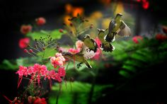 humming birds wallpapers and backgrounds | Hummingbird Wallpaper pictures, photos in best quality.
