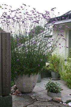 Potted verbena bonariensis. Grows up to 6ft tall, attracts butterflies, perrenial. plant from seed indoors first.