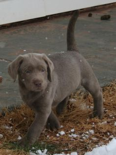 Silver lab puppy by jimimaher Mutt Dog, Dog Cat, Puppy Pictures, Dog Photos, Cute Puppies, Dogs And Puppies, Labrador Puppies, Doggies, Silver Labrador Retriever