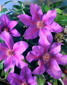 Clematis 'Etoile de Malicorne' • Plants & Flowers • 99Roots.com