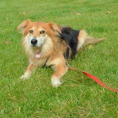 #OHIO Sherman is a handsome 4 year-old Sheltie/Spaniel mix male who's very shy but also very sweet. He came to us from an overcrowded county dog shelter because he was terrified at the shelter so unlikely to get adopted there. Sherman absolutely...