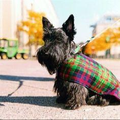 Adorable Black Scottish Terrier