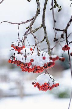 Šťavnaté jeřabiny. Září z holých větví jako rubíny. Aspoň do doby, než je spolykají kosi a kvíčaly.