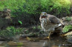 Crested Goshawk ( Accipiter trivirgatus ) is standing on one leg in the water, suspected injury by bleeding under neck.