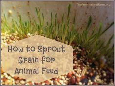 How to sprout grain for animal feed