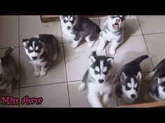 Belka(Alaskan Malamute/Siberian Husky),our 20 day old pup howling - YouTube