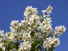 Echte Felsenbirne / Gemeine Felsenbirne - Amelanchier rotundifolia / ovalis - Baumschule Horstmann