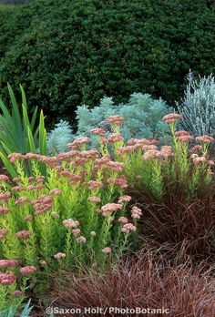 Sedum 'Autumn Joy' flowering with brown sedge, Carex secta tenuiculmis 'Western Hills' and Artemisia in garden border. Meadow Garden, Cottage Garden Plants, Dry Garden, Garden Whimsy, Gravel Garden, Spring Plants, Drought Tolerant Plants, Garden Borders, Ornamental Grasses