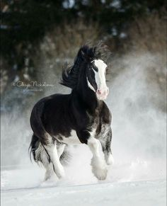 Bella. Beautiful horse running through the snow.