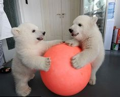 polar bear cubs playing with a ball animals Cute Baby Animals, Animals And Pets, Funny Animals, Wild Animals, Baby Polar Bears, Baby Pandas, Polar Bear Games, Bear Cubs, Grizzly Bears