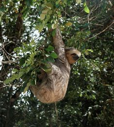 How sloths hang upside down without getting tired.