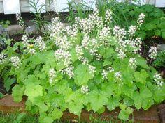 Spetsmössa Vetenskapligt namn: Tiarella cordifolia Zon: 6 Läge: Sol till halvskugga Jord: Mullrik Färg: Vit Höjd: 20 cm Förökning: Frön ,delning Blomtid: Maj - juni. Kan användas som marktäckare Text från AoT forum