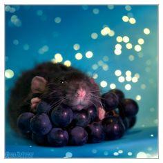 Arkanys, black irish dumbo rex rat, born April the 16th 2010.