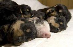 Puppies + Piggy